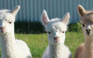 Silverstream Alpaca Farmstay 2